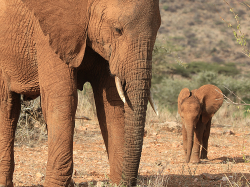 Elephants in Kenya, photo by Ferdinand Reus, used under Creative Commons License